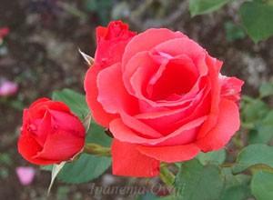 アナシュカは数輪の房咲きになり、花つきはよい。