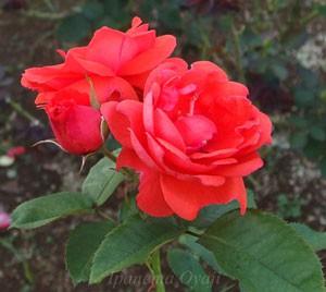 アナシュカはフロリバンダ系統のバラ