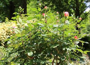 アウグスタ・ルイーゼはシュラブ樹形の直立タイプ