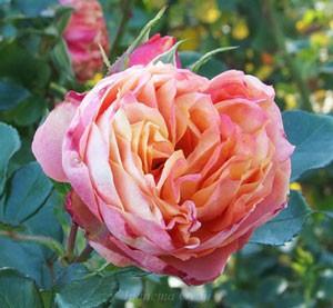 ベビー ロマンティカの花形はカップ咲きです