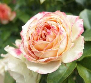 ベビー ロマンティカの花径は約5cmです