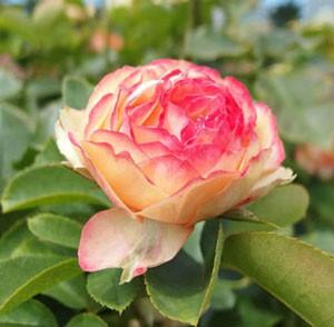 ベビー ロマンディカは切り花用として人気がある品種