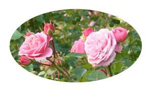 バイランドの花形はロゼット咲き