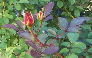 ベティ ブープはコンパクトな樹形で鉢栽培に適する