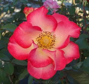 ベティー ブープはフロリバンダ系統のバラです