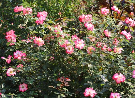 ベティ ブープの花色は白にローズ色の覆輪が入る