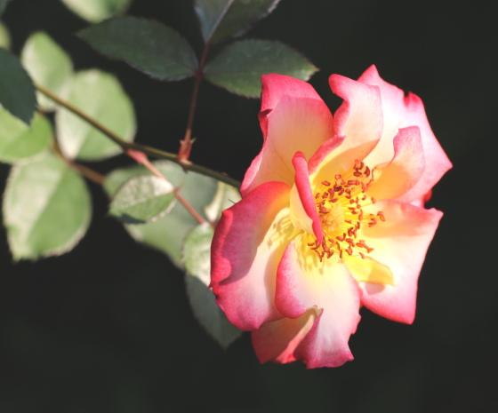 ベティ ブープは小輪サイズの半八重咲きです