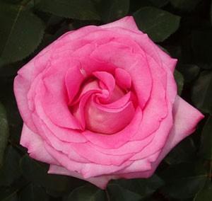ビバリーは半剣弁咲きの大輪花です