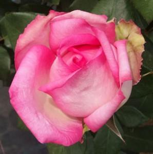 ビバリーは花径が10cm以上の大輪サイズ
