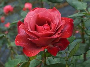 ブラック ティーは花径が約14cm程の大輪花です
