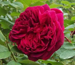 ブラックベリー ニップはHT系統のバラです
