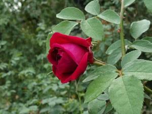 ブラックベリー ニップは四季咲き性です