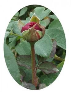 ブラックベリー ニップは大輪サイズの赤紫色のバラ