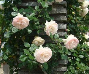 ブラン・ピエール・ドゥ・ロンサールは大輪咲きのつるバラです