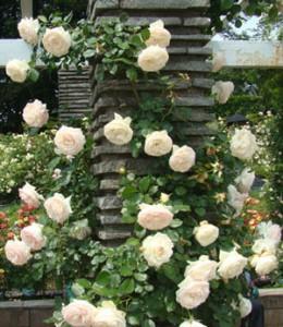 ブラン・ピエール・ドゥ・ロンサールは白色の大輪花を咲かせます