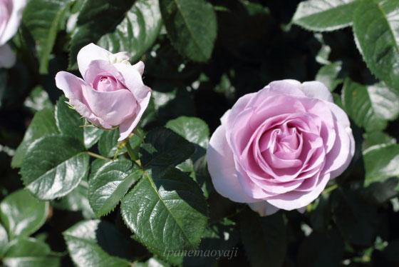 ブルー バユーは遅咲きの品種です