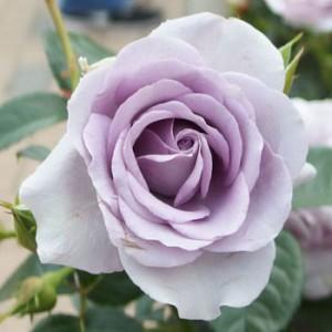 ブルー バユーの花径は約8cmの中輪サイズです