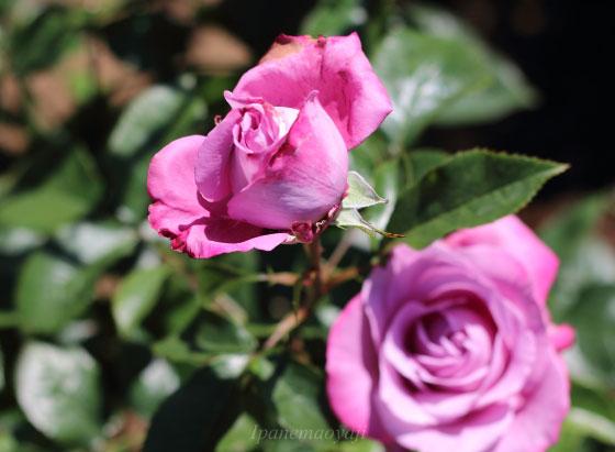 ブルー リバーは花つき、花もちがよい多花性の品種です