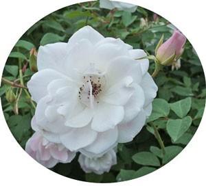 ブラッシング アイスバーグの花色は白地に淡いピンク色を帯びます