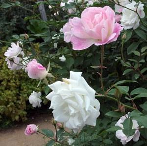 ブラッシング アイスバーグの花形は丸弁平咲きです