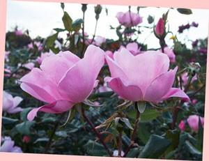 ブラッシング ノック アウトは淡い桃色の花色