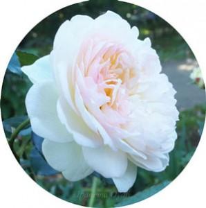 ボレロは白色のロゼット咲きです