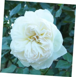 ボレロの花径は約10cmですよ