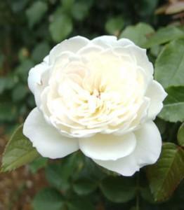 ボレロは白色から徐々に淡いピンク色がかすかに入る