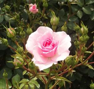 ピンク色の丸弁平咲きのバラ