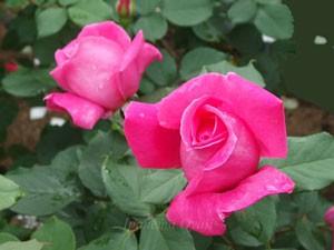 ボニー スコットは濃いローズ色で房咲きになることもある