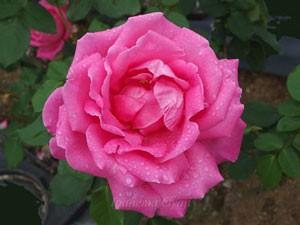 ボニー スコットランドの花径は約9cmの中輪花です