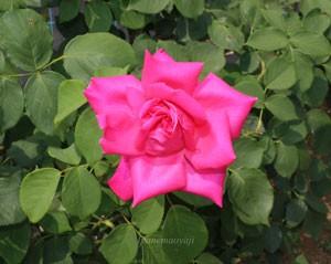 ボニー スコットランドの花形は半剣弁高芯咲きです
