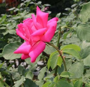 ボニー スコットランドは四季咲きのバラ
