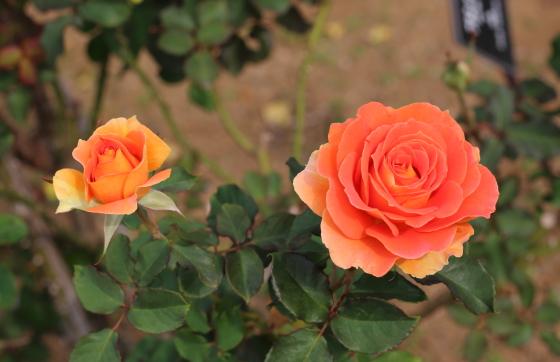 ブラス バンドの花色は明るいオレンジ色です