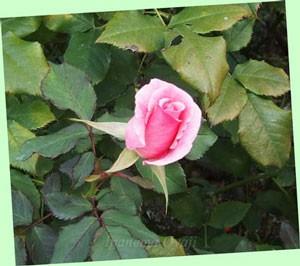 ブライダル ピンクは光沢のある淡い桃色の花