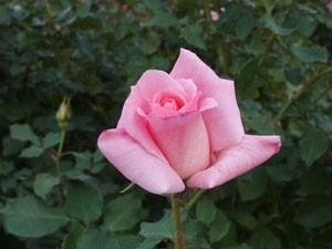 ブライダル ピンクは中輪サイズの花