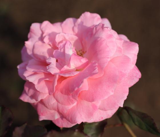 ブライダル ピンクの花径は9cm程の中輪サイズ