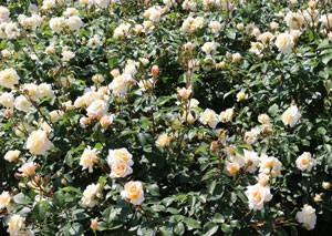 ブライダル ホワイトは花径は約9cmです