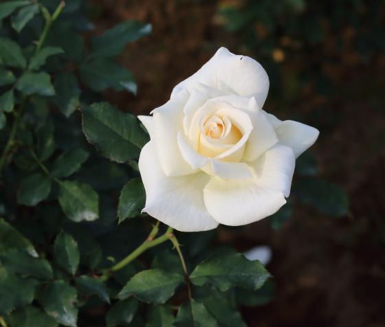 ブライダル ホワイトは整った花形の中輪花