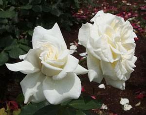 ブライダル ホワイトは半剣弁高芯咲きです