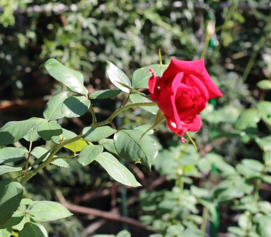 ブルグント'81は花つき花もちがよい品種です