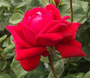 ブルグント'81の花径は14cmにも及ぶ大輪花です