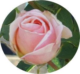カリオペのツボミの時期は丸弁抱え咲きのような花形です