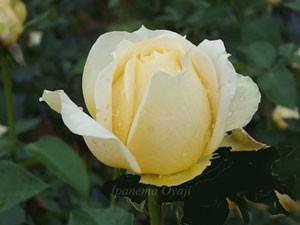 キャラメルアンティークのツボミの時期は抱え咲きのようにも見える