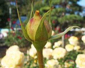 花首が長くてトゲが少ない株立ちです