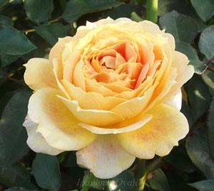 花弁数も40枚以上でボリュームのある花弁になる