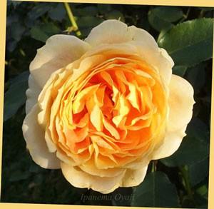 開花が進むとクォーターロゼット咲きに変化する