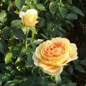 キャラメルアンティークはアンティークタッチのバラ