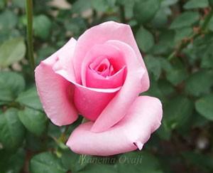カリーナは半剣弁高芯咲きのバラ