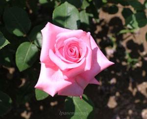 カリーナの花形は整った整形花になる確率が高い品種です